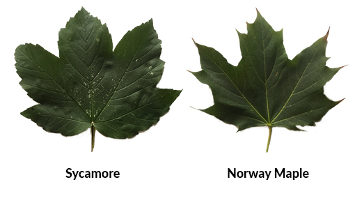 A Guide To Atypical Myopathy Redwings Horse Sanctuary And Equine - Norway maple uses