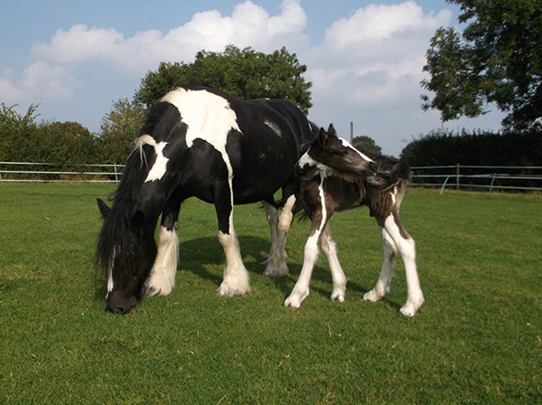 Twiglet gave birth to a healthy foal Frazzle at Redwings