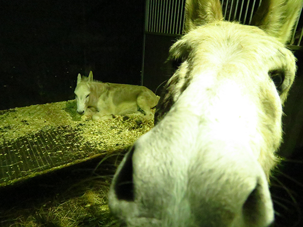 Find out how Redwings' cares for its donkeys after dark
