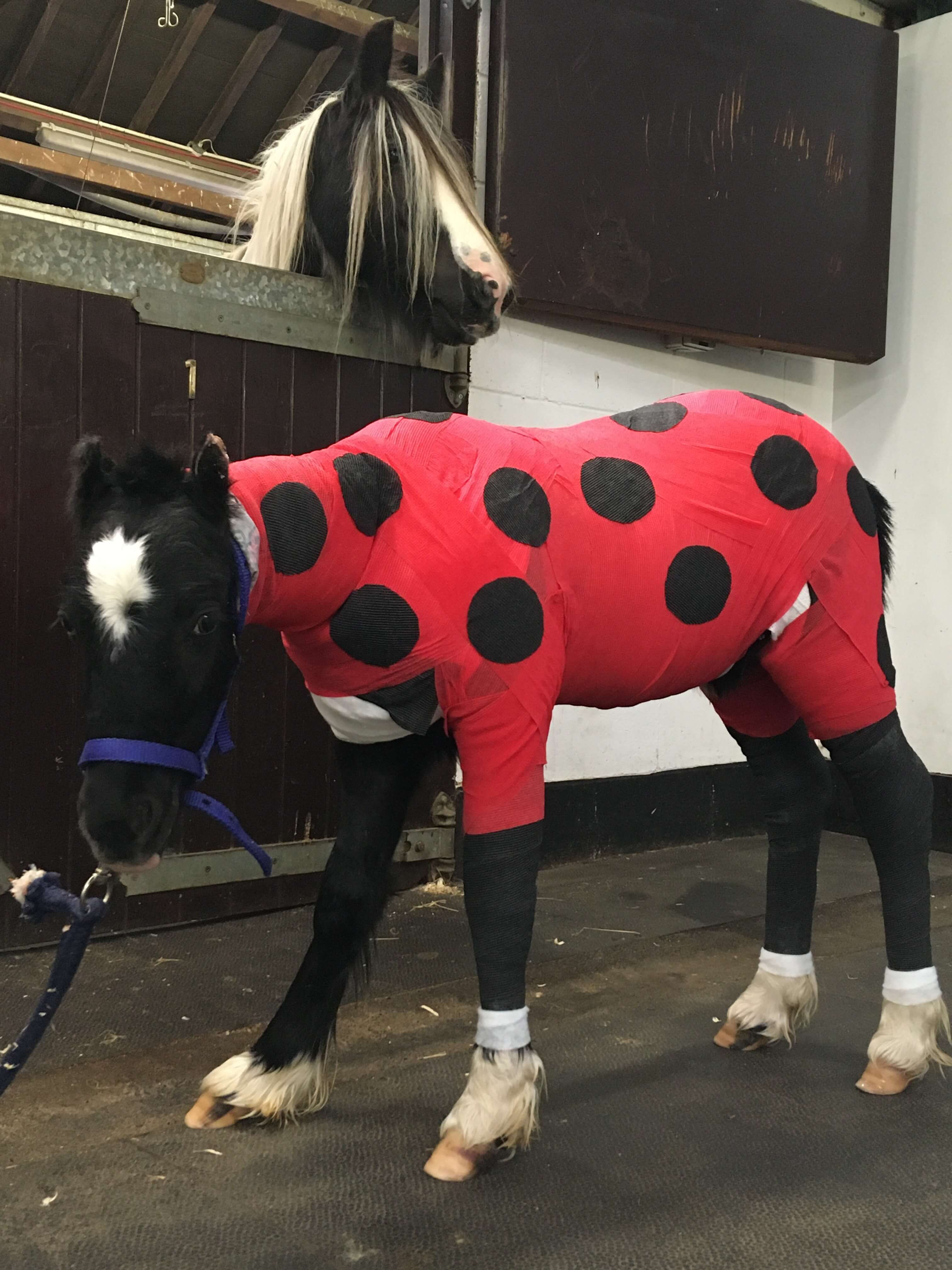 Picture of pony wrapped in bandages to look like a ladybird
