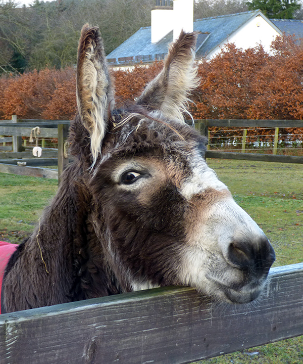 Redwings Adoption Star donkey Minnie
