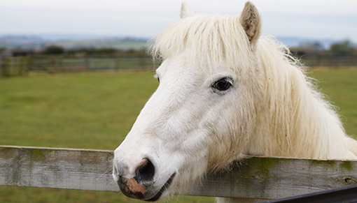 Redwings Adoption Star pony Dylan retires