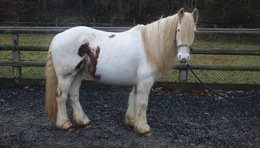 Redwings rescue pony Roxanne rehomed