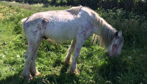 Young cob colt found abandoned in Essex