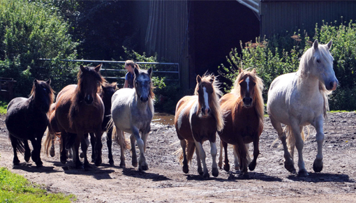 Microchipping event to identify ponies on Bodmin Moor