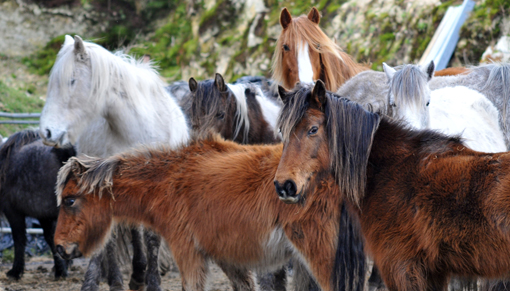 Ponies rounded up from Bodmin