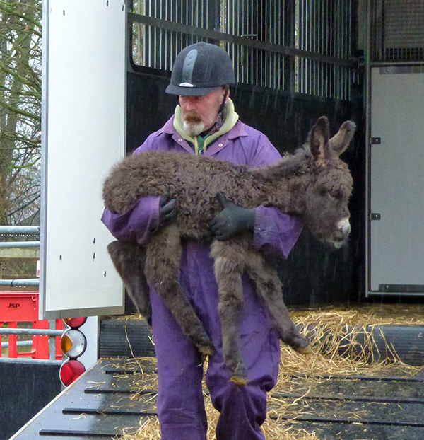 Donkey foal arrives at Redwings