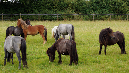 Redwings rescue ponies from Bodmin Moor in recovery