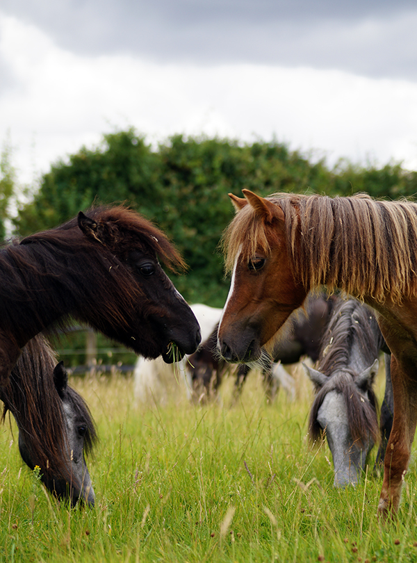 Bodmin Moor rescue pony reunited with friends at Redwings