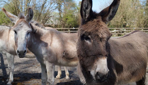 Redwings Adoption Star donkey Del Boy