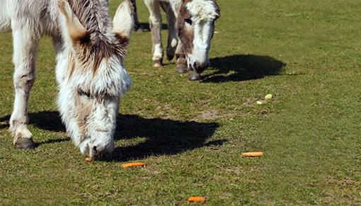 International Carrot Day