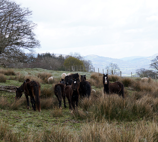 Redwings rescue Llangynidr ponies
