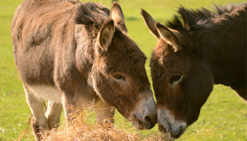New donkeys at Redwings Mountains in Scotland