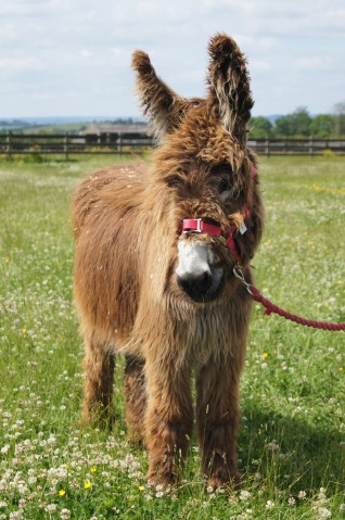 Picture of Arya the Adoption Star donkey