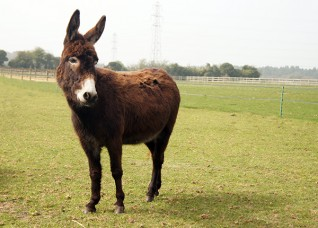 Esther the donkey at Redwings Caldecott