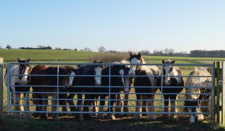 Ponies lined up at the fence