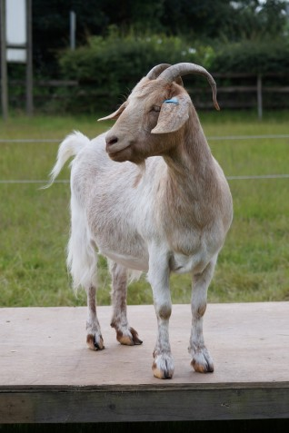 Little brown and white goat at Redwings