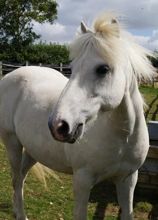 Redwings Adoption Star pony Dylan retires