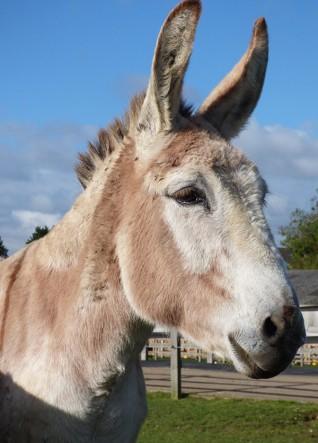 Jessie the donkey