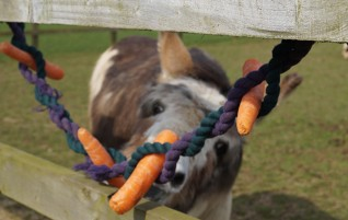 Redwings Horse Sanctuary celebrates International Carrot Day