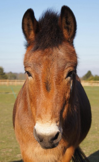 Redwings Adoption Star Muffin the mule retires