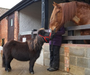 Suffolk Punch horse Stanley saves life of miniature Shetland pony Io