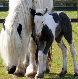 Newborn foal at Redwings