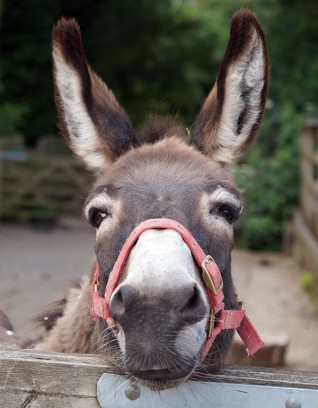Sponsor a rescue donkey for Christmas