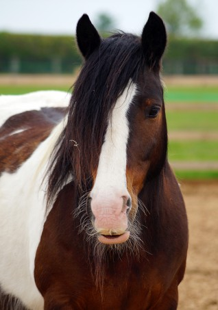 Redwings Adoption Star Rumpel