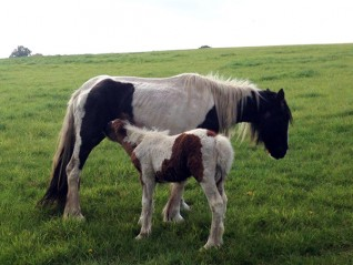 Mare and foal found near Harleston