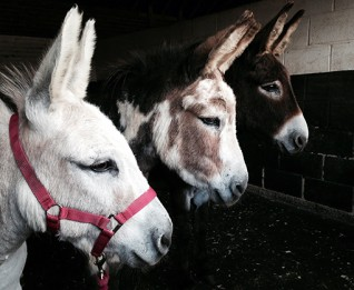 Adoption Star donkeys Wiggins and Wacko look after Derek