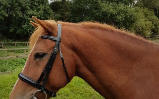 Donation of bridles for Redwings rehoming horses