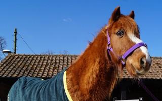 Donated horse fleeces