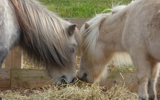 Laminitis, Weight Management and Enrichment